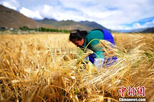 西藏迎来青稞丰收季