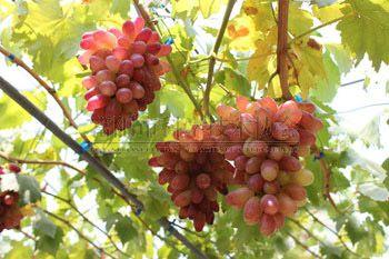 为何葡萄越变越甜 智慧农业省力省钱