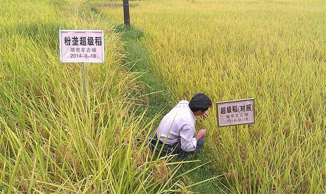粉垄新技术湖南首秀 助力杂交稻增产约10%