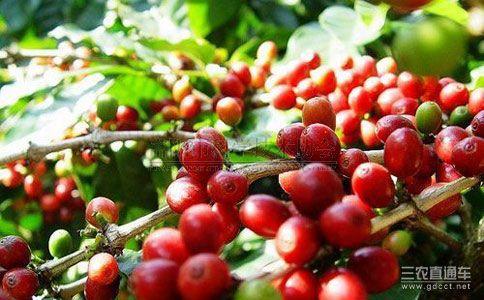 海外减产致出口大增 云南咖啡豆价格翻倍