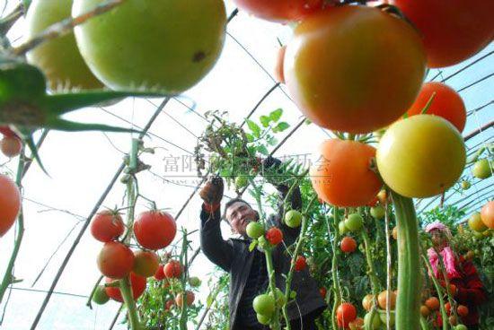 大棚元旦蔬菜即将上市